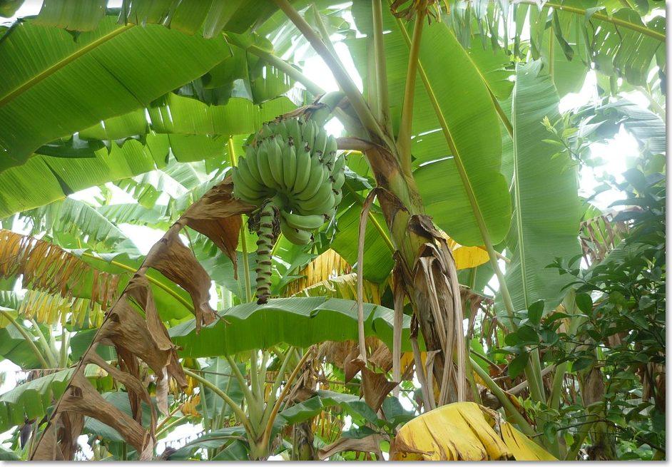 바나나 따는 꿈
